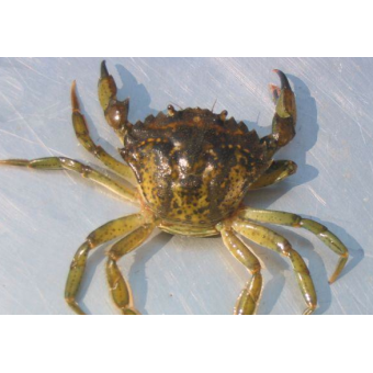 Crabe vert (3kg)